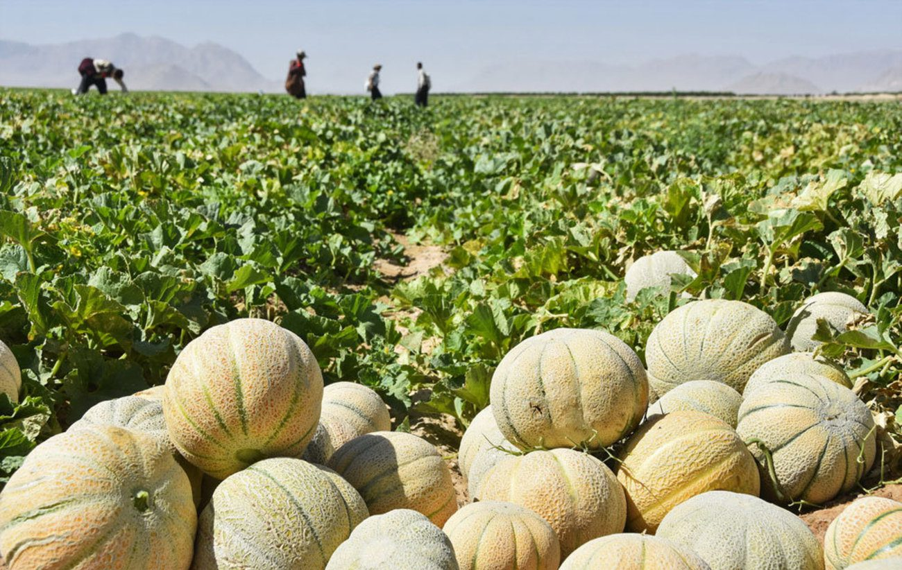 برداشت طالبی از سطح بیش از 750 هکتار مزارع کاشمر آغاز شد