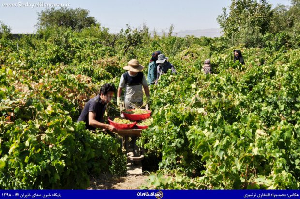 برداشت محصول انگور در منطقه ترشیز