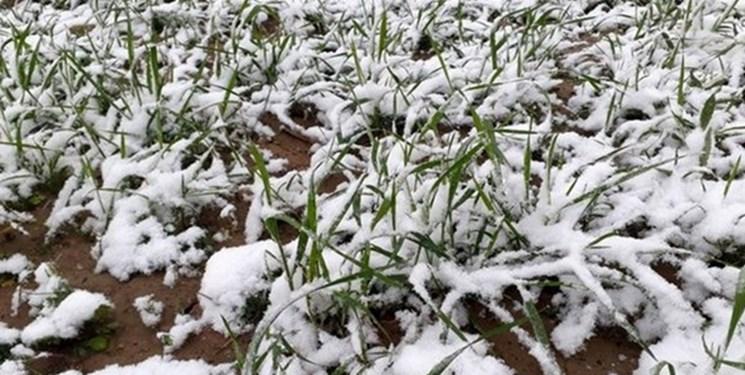 هشدار جهاد کشاورزی خراسان رضوی نسبت به احتمال سرمازدگی محصولات