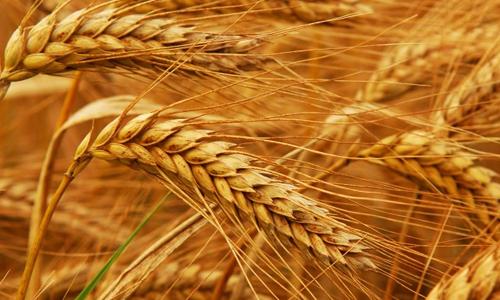 زکات؛ دستوری از جنس برکت و طعم شیرین زندگی یک کشاورز