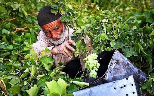 بازار انگور و کشمش در دست دلالان است