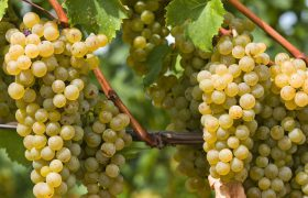 توسعه باغهای انگور ممنوع شد